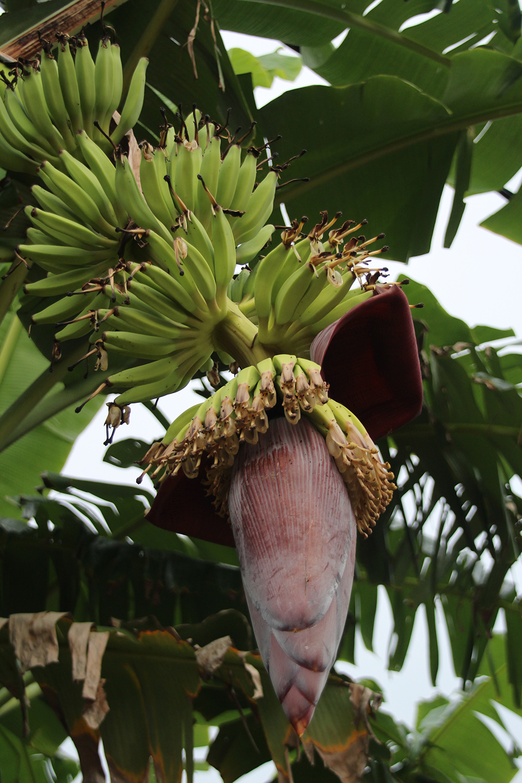 Bananenblüte Sri Lanka