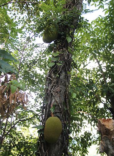 Jackfrüchtebaum